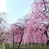 名古屋市農業センターのしだれ梅まつり2020日程はいつからいつまで?