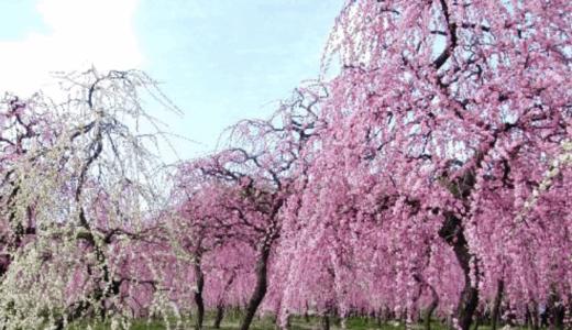 名古屋市農業センターのしだれ梅まつり2020はいつからいつまで?見頃と開花時期まとめ